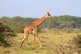 Rothschild giraffe in Kenya — Foto de Stock