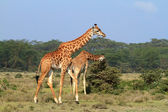 Rothschild giraffe in Kenya — Photo