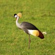 Crowned crane bird — Stock Photo