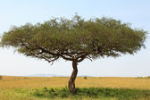 Acacia tree in Africa — Stock Photo