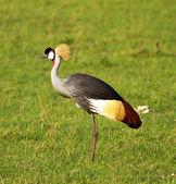 Koronowany żuraw ptak — Zdjęcie stockowe