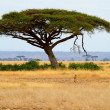 Landscape with Acacia tree and cheetah - Stock Photo