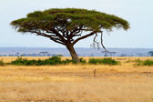Landscape with Acacia tree and cheetah — Stock Photo