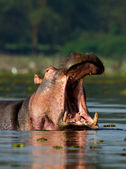 Hippo with open mouth — Stock Photo