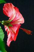 Hibiscus rosa-sinensis — Stock Photo