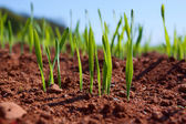 The first shoots in furrows close up — Stock Photo