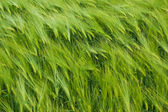 Barley field in summer day — Stock Photo