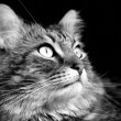 Maine coon cat - Stok fotoraf
