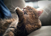 Maine coon cleaning itself — Stock Photo