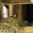 Baby bird in nest — Stock Photo
