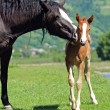 Stock Photo: Baby of Horse