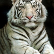 Portrait of tiger - Stock Photo