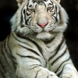 Royalty-Free Stock Photo: Portrait of tiger
