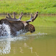 Canadian Elk — Stock Photo #5780772