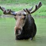 Canadian Elk — Stock Photo