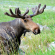 Canadian Elk — Stock Photo