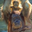 Monkey with a baby — Stock Photo #5780844