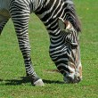Zebra on a green grass — Stock Photo