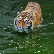 Royalty-Free Stock Photo: Tiger is in water