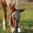 Stock Photo: Horse on pasture