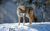 Grey Wolf — Stock Photo