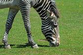 Zebra on a green grass — Stock Photo