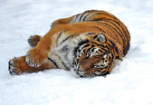 Amur Tiger — Foto de Stock