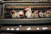 鶏の成長の工場 — ストック写真