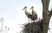 Stork in spring — Stock Photo