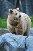 Portrait of Bear — Stock fotografie