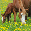Stock Photo: Horse with baby on pasture