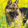 Royalty-Free Stock Photo: Portrait of German Shepherd