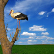 Stork on a tree — Stock Photo