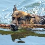 Portrait of German Shepherd — Stock Photo #6034855
