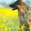 Portrait of German Shepherd — Foto Stock