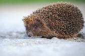 A hedgehog — Stock Photo