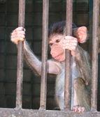 Cub Baboon hamadryad. Papio hamadryas. — Stock Photo