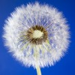 Stock Photo: Close up of one dandelion head loosing seeds on blue sky backgro