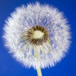Close up of one dandelion head loosing seeds on blue sky backgro — Stock Photo