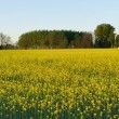 Field mustard (Brassica rapa) field — Stock Photo