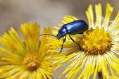 Oreina coerulea leaf beetle on Coltsfoot (Tussilago farfara) flower — Stock Photo
