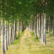 Rows of poplars — Stock Photo