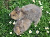 Baby dwarf rabbit — Stock Photo