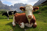 Cows grazing at the Alpe Cisles — Stock Photo