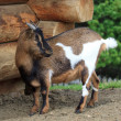 Stock Photo: Small goat