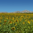 Stock Photo: Sunflower field over moutains