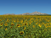 Sunflower field over moutains — Stock Photo