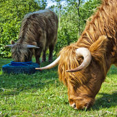 Hairy cow feeding — Stock Photo