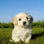 Bichon Havanais puppy dog — Stock Photo