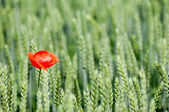 Poppy and corn filed — Stock Photo
